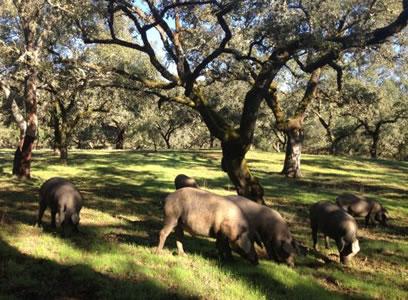 Porcs Ibériques de manger des bellotas glands